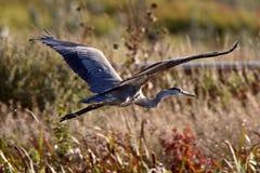 蓝色飞行极大的苍鹭 图库摄影