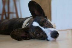 羊毛衫小狗威尔士 库存图片