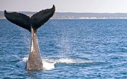 驼背鲸 库存图片
