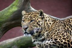 豹 免版税库存照片