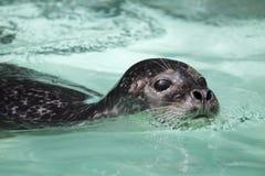 斑海豹 库存图片