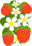 背景草莓 图库摄影