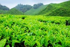 种植园茶 免版税库存照片
