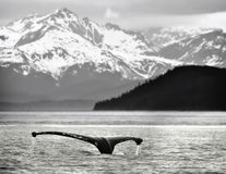 阿拉斯加驼背尾标鲸鱼 免版税库存照片