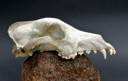 食肉动物的头骨 免版税库存照片