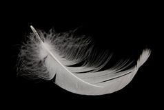 羽毛天鹅 免版税图库摄影