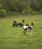 母牛群 免版税库存照片