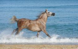 阿拉伯疾驰马运行中 免版税库存图片