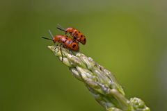 жуки спаржи сопрягая красный цвет запятнали Стоковое Фото