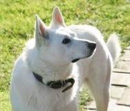 狗白色 库存照片