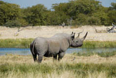 非洲黑色危险的犀牛 图库摄影