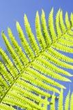 蕨新鲜的绿色叶子 免版税图库摄影