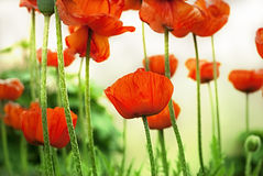 мак цветка Стоковая Фотография RF