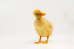 逗人喜爱的鸭子一点 免版税库存图片