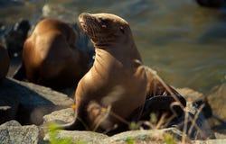 ήλιος θάλασσας λιονταριών Καλιφόρνιας απογεύματος Στοκ Εικόνες