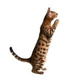 γάτα της Βεγγάλης Στοκ Εικόνες