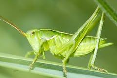 蝗虫 图库摄影