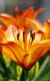 花百合属植物 免版税图库摄影