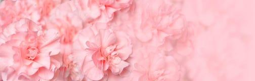 美好的康乃馨花标头粉红色 免版税库存图片