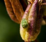 臭虫绿色若虫盾 免版税图库摄影