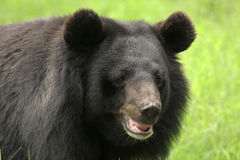 熊怠惰 库存图片