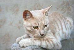 猫黄褐色 免版税库存照片