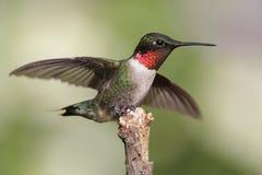 蜂鸟男性红宝石红喉刺莺 免版税库存图片
