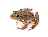 背景青蛙查出的白色 免版税库存照片