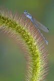 蜻蜓狐尾 库存图片