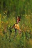 被盯梢的黑色长耳大野兔纵向 图库摄影