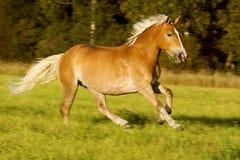 马运行中 免版税库存图片