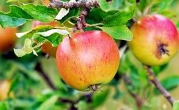 苹果树 免版税图库摄影