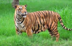 тигр Бенгалии Стоковые Фотографии RF