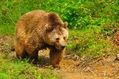 коричневый цвет медведя Стоковые Фотографии RF