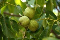 зеленый грецкий орех Стоковая Фотография RF