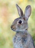 通配的兔子 免版税图库摄影