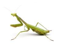 螳螂祈祷 免版税库存图片