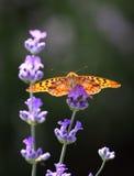 蝴蝶在淡紫色花栖息 免版税库存照片