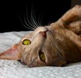 γάτα Ασιάτης Στοκ εικόνες με δικαίωμα ελεύθερης χρήσης