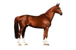 внешняя изолированная лошадь Стоковая Фотография