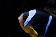 小丑鱼 库存图片