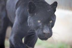 豹 免版税图库摄影