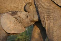 θηλάζον νεογνό ελεφάντων & Στοκ Εικόνες