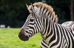 зебра портрета Стоковые Фотографии RF