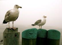 鳕鱼海鸥 库存图片