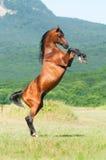 饲养公马的阿拉伯海湾 库存图片