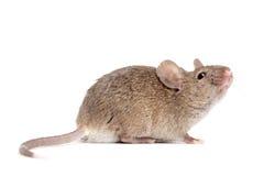 关闭白色的查出的鼠标 库存照片