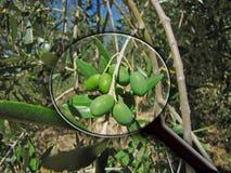 玻璃扩大化的橄榄 图库摄影