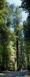 红木结构树 免版税图库摄影