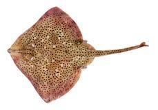 被察觉的鱼光芒 免版税库存图片